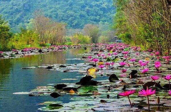 Hoa sen, hoa súng đua nhau khoe sắc bên dòng sông Yến
