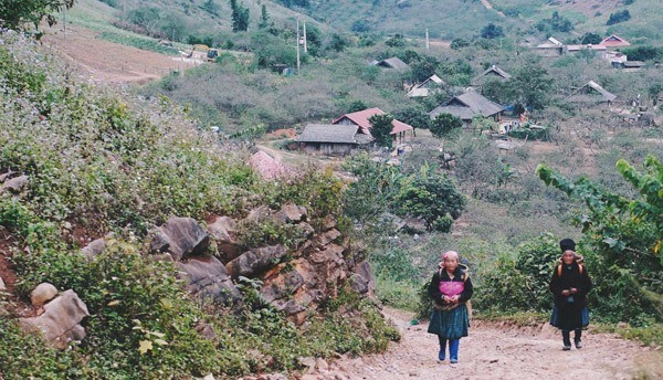Bản Pa Phách – thiên đường hoa cải trắng